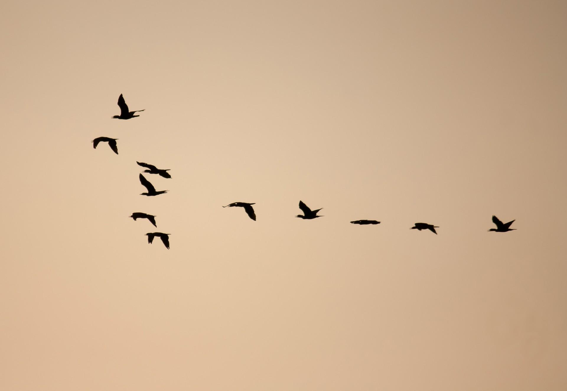 Bandada de aves a contraluz